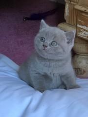 Tsunning Healthy-well behaved british Kitties - Cats