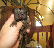 FT443 Adorable Twin Pygmy Marmoset and Capuchin 07031957695
