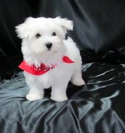 Healthy Teacup Maltese puppies For Sale