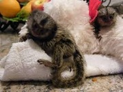 Pairs Capuchin pygmy marmoset available 07031956739