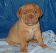 Gorgeous Dogue De Bordeaux Puppies For Good Homes