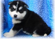 Alaskan Malamute puppies for free adoption