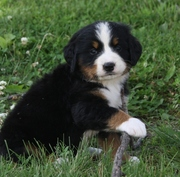 Quality Bernese Mountain Dog Puppies For Sale